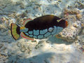Coloured Clown triggerfish Royalty Free Stock Photo