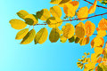 Colourful bird cherry tree branches  against bright blue sky - natural autumn background Royalty Free Stock Photo