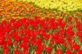 Colourful blooming Tulips in Keukenhof during Spring Royalty Free Stock Photo