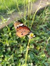 Colourful butterfly collects nectar with tiny flower at early morning. Royalty Free Stock Photo