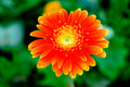 Colourful Chrysanthemum Royalty Free Stock Photo
