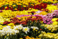Colourful Chrysanthemum flowerbed Royalty Free Stock Photo