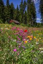 Wildflowers trees and cabin, Black Forest, Germany Royalty Free Stock Photo