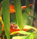 Colourful Costa Rican crab Royalty Free Stock Photo