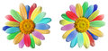 Colourful daisy in rainbow colours a pair of bright daisies with their petals or rays the of the isolated on white Stock Photos