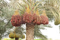 Colourful dates bunches all along the date palm Stock Image