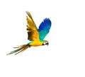 Colourful flying parrot isolated on white Stock Photos