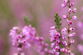Colourful heather macro close up of plant Royalty Free Stock Images