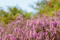 Colourful heather macro of plant taken in large heathland Royalty Free Stock Photos
