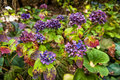 Colourful hydrangea flowers at botanic garden Royalty Free Stock Photo