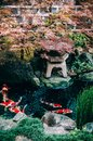 Colourful Koi Carp Fish in Japanese garden pond with plants, tree and stone Royalty Free Stock Photo