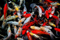 Colourful koi fish in a pond Royalty Free Stock Photo
