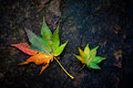 Colourful leaves autumn with great detail Royalty Free Stock Photo