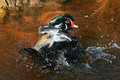 Colourful mandarin duck splashing water brightly coloured green red blue black white bathing in and droplets Royalty Free Stock Images