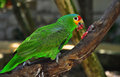 Colourful parrot ara araruana at jungle Stock Photography