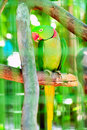 Colourful parrot bird  on the perch Royalty Free Stock Image