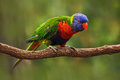 Colourful parrot Rainbow, Lorikeets Trichoglossus haematodus, sitting on the branch, animal in the nature habitat, Australia. Blue Royalty Free Stock Photo
