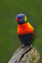 Colourful parrot rainbow lorikeets trichoglossus haematodus sitting on the branch animal in the nature habitat australia coloured Royalty Free Stock Photos