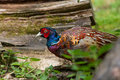 Colourful pheasant a in wild Royalty Free Stock Photo