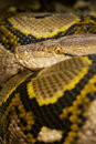 Colourful Python Royalty Free Stock Photo