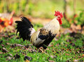 Colourful rooster in nature Royalty Free Stock Photography