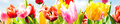 Colourful spring banner of fresh tulips panoramic in vibrant yellow pink and red growing in a field under a sunny blue sky closeup Royalty Free Stock Photography