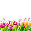 Colourful spring tulips on a white background field of fading into the distance as lower border with copyspace Stock Photo