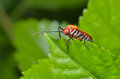 A colourful stink bug stripes walking around the leafs Royalty Free Stock Image
