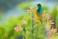 Colourful Sunbird feeding South Africa Royalty Free Stock Photo