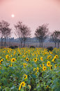 Colourful Sunflower fields in sunset Royalty Free Stock Photo