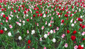 Colourful tulips flowers season garden Royalty Free Stock Photo