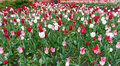 Colourful tulips flowers season garden flower beauty Royalty Free Stock Photo