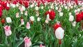 Colourful tulips flowers season garden flower beauty Royalty Free Stock Photo