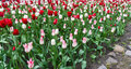 Colourful tulips flowers season garden outdoor beauty Royalty Free Stock Photo