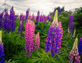 Colourful wild lupines Royalty Free Stock Photo