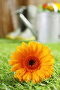 Colourful yellow summer gerbera daisy with moisture clinging to the petals lying on a green lawn in the garden with shallow dof Royalty Free Stock Photos