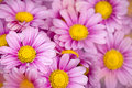 Colsed up chrysanthemum Stock Images