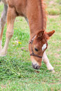 Colt beautiful six week old in the pasture Royalty Free Stock Image