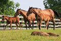 Colts and Mares Royalty Free Stock Photo