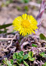 Coltsfoot first spring flower a plant is a foalfoot primrose Royalty Free Stock Photo