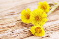 Coltsfoot flowers on a wooden board Stock Image