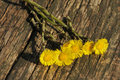 Coltsfoot flowers on a wooden table Royalty Free Stock Image