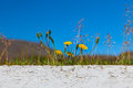 Coltsfoot in front of blue sky iceland Stock Photos