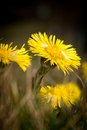 Coltsfoot medical first flower on spring latin name tussilago farfara Stock Photo