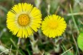 Coltsfoot medical first flower on spring latin name tussilago farfara Royalty Free Stock Image