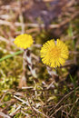 Coltsfoot tussilago farfara flowers early on the spring Stock Photography
