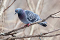 Columba livia, Rock Dove. Royalty Free Stock Photo