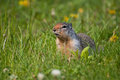 Columbian Ground Squirrel Stock Image