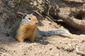 Columbian Ground Squirrel Royalty Free Stock Photo