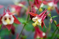 Columbine Stock Images